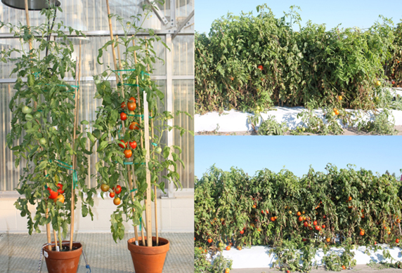 In greenhouse and field experiments, tomato plants with certain epigenetic modifications produce more fruit than unmodified plants in a given amount of time. Photo courtesy of Sally Mackenzie