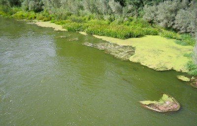 A toxic algal bloom on the Klamath River. Source: The Karuk tribe