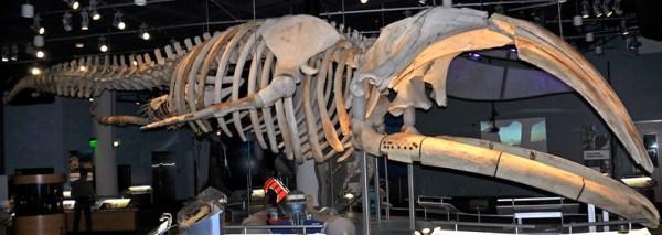North Atlantic right whale skeleton