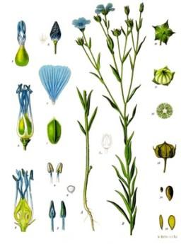 flax0