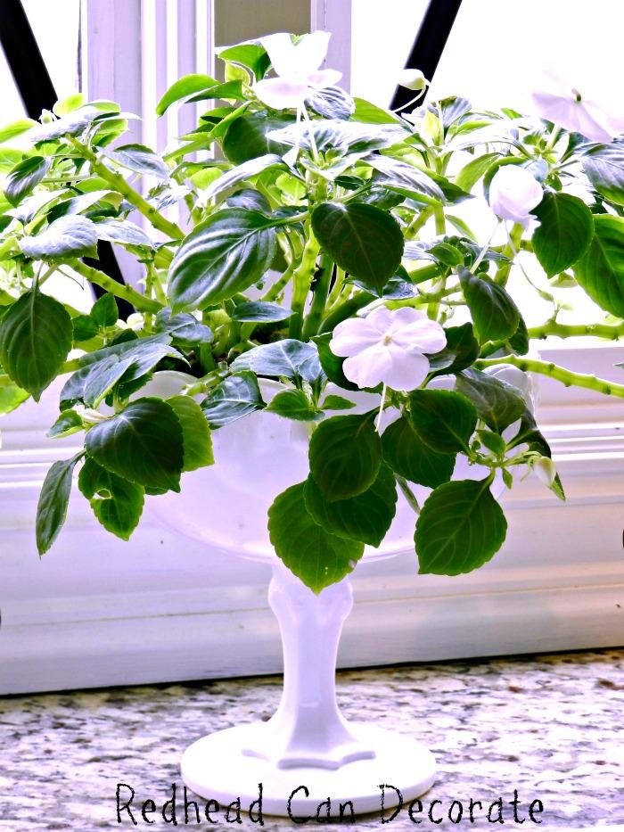 How to Grow Indoor Impatiens