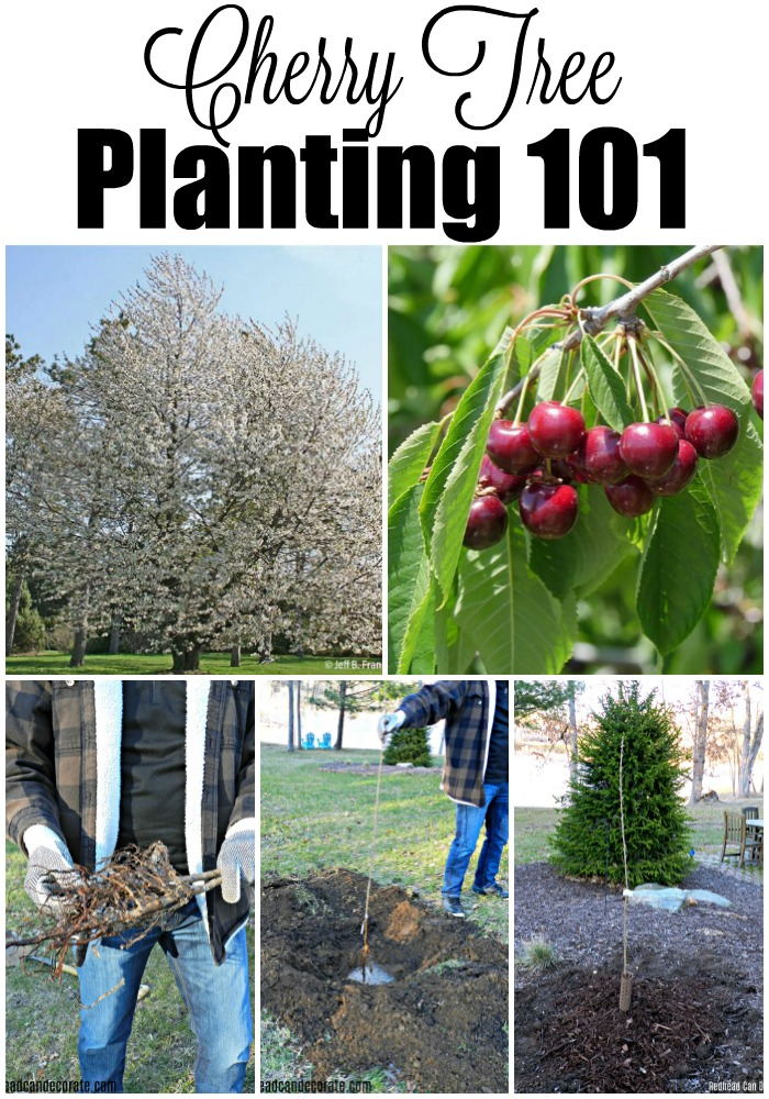 Planting cherry trees with the Arbor Day Foundation is less expensive and they provide important knowledge on tree planting.