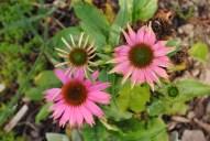 5 Pink Aconites
