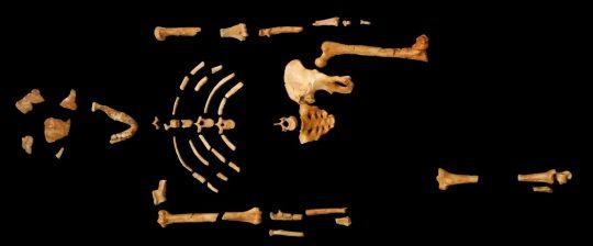 Esqueleto de Lucy.