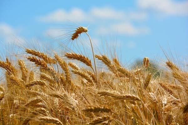 Análisis del trigo determinó que Reino Unido no era una isla hace 8.000 años