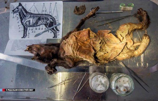 Momia de perro con más de 12.000 años de antigüedad.