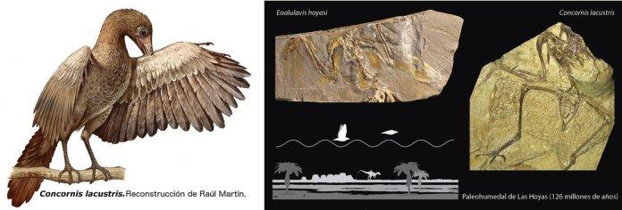 fosiles Concornis lacustris y Eoalulavis hoyasi