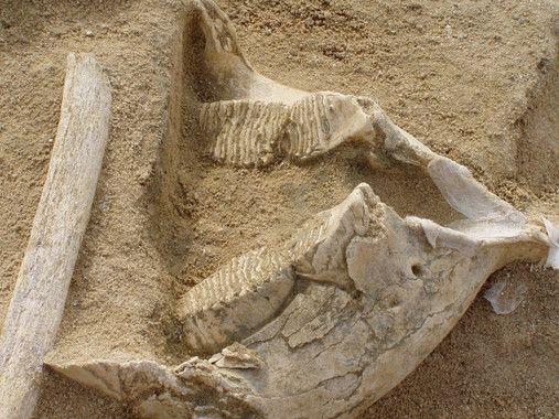 mandibula mamut madrid