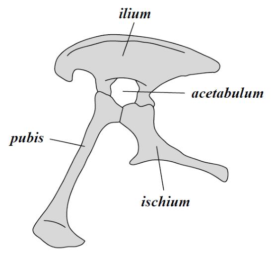 pelvis saurischia