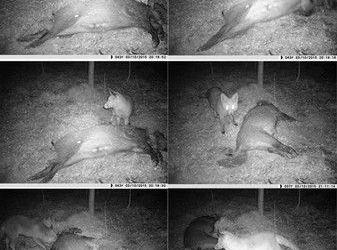 cama trampa capta zorro rojo