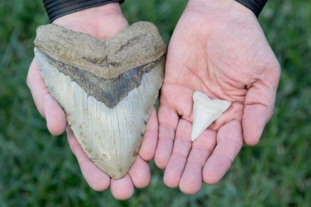 comparacion diente megalodon tiburon