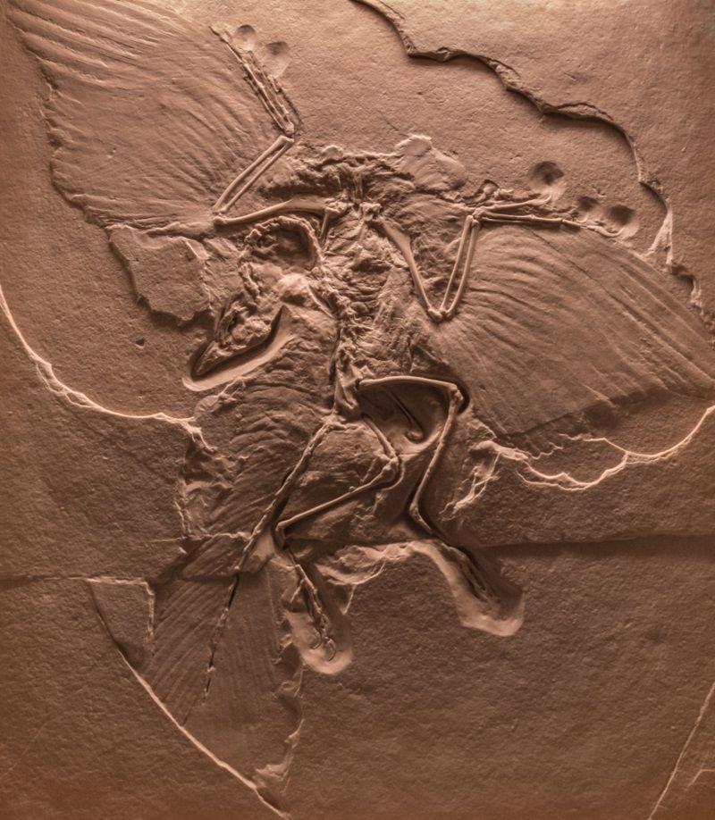 archaeopteryx fosil