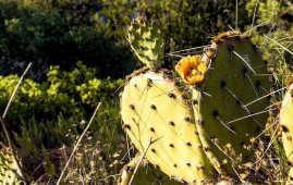 aguja tatuar antigua cactus