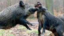 Legacy Of Chernobyl Boar Shot In Sweden 10