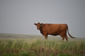 A beautiful Red Angus cow of Dale Veseth's herd