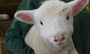 lambing days, lambing days oxfordshire berkshire, where to feed baby lambs, where to see baby lambs, baby lambs, lambing, oxfordshire, berkshire