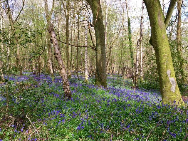 bluebell walks berkshire, bluebells, bluebell walks, where to go bluebell walk berkshire
