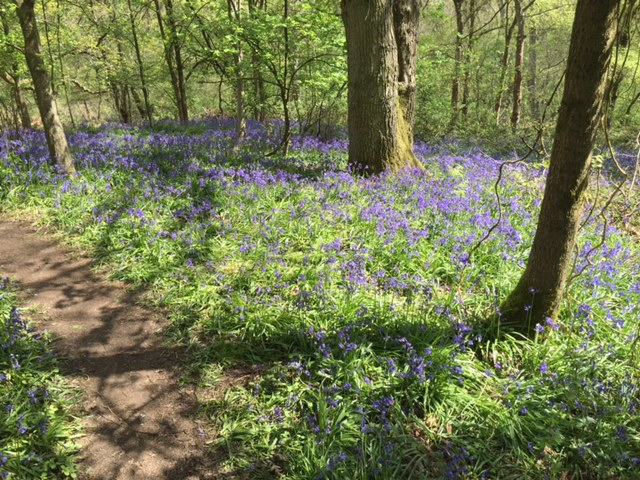 shotover, bluebells, woods, walk, oxford