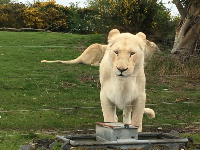 west midland safari park review, safari parks kids, wild cats