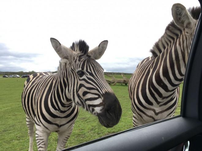 west midland safari park review, safari parks kids, zebra, feeding zebra