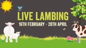 lambing cotswold farm park