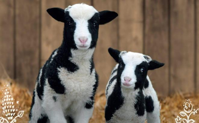 lambing odds farm, lambing events buckinghamshire, lambing events berkshire