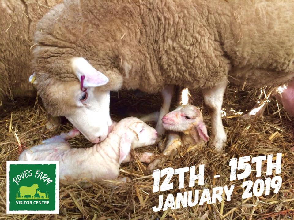 lambing days roves farm, lambing days swindon, see lambs