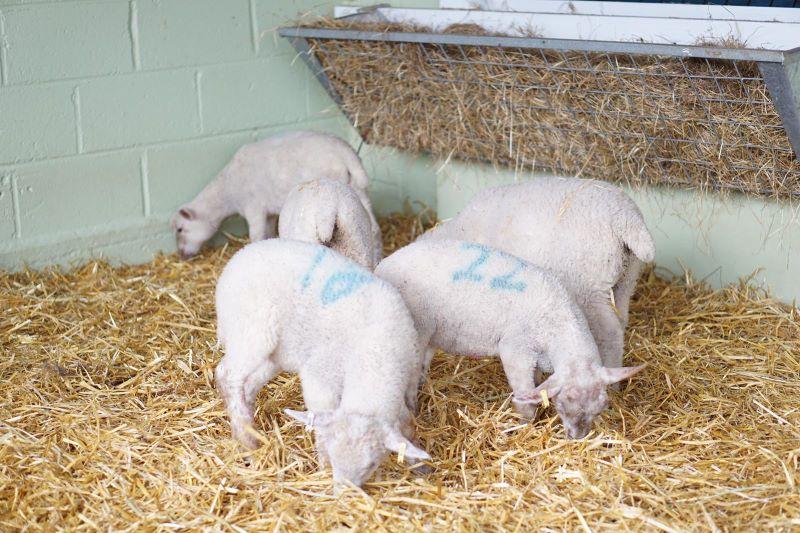 Putlake Farm lambs