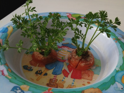 grow carrot tops, sprouted carrot top, preschool growing experiment, how to sprout carrot tops
