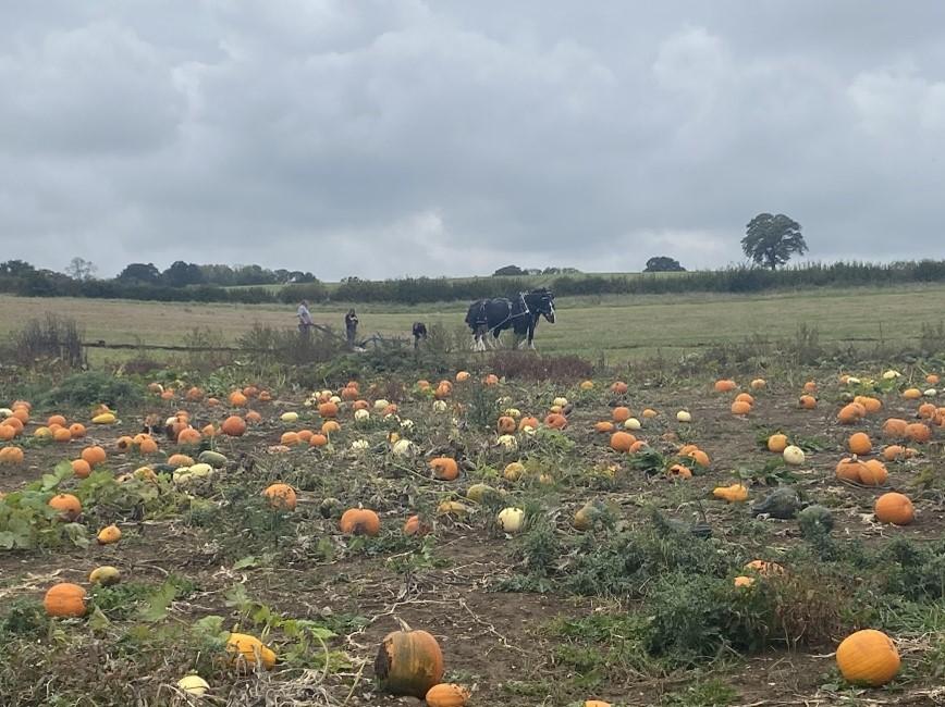 pumpkin patch buckinghamshire, pumpkin picking milton keynes, pumpkins towcester