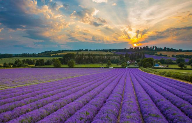 castle farm kent, castle farm lavender, kentish lavender fields, kent lavender fields, visit lavender fields kent