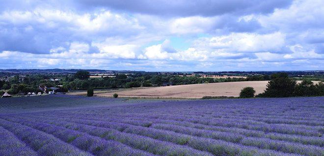find lavender fields, visit lavender fields, lavender fields hertfordshire
