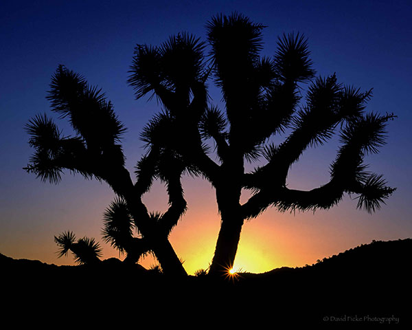 Ficke-Joshua-Tree-Sunrise-copy