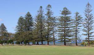 G.J. Walter Park's Norfolk Pine trees