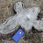 Stump of felled sheoak tree