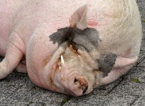 A miniature pig
