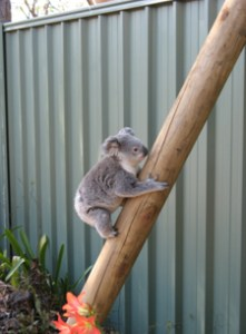 koala friendly design