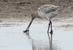 Migratory shorebird feeding on proposed marina site near Toondah Harbour