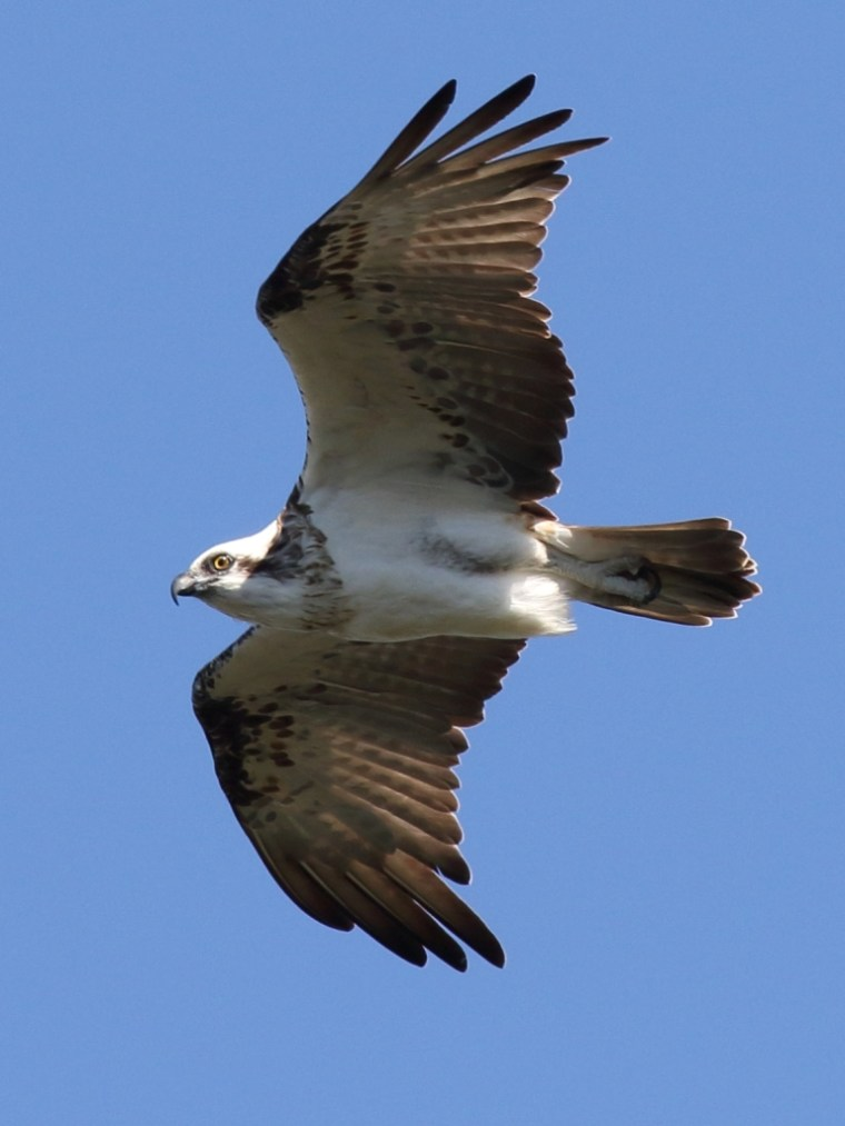 Osprey in flight near nest