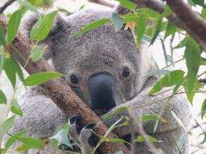 Redland City's koalas face a grim future