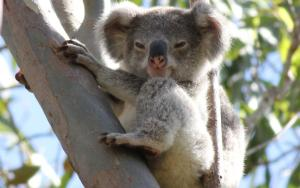 Do koalas contribute to regional livability?