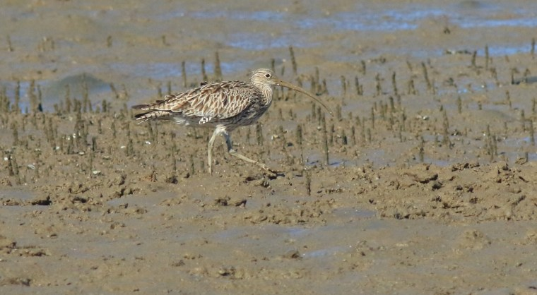 151 edit 2 Eastern curlew Toondah Harbour 12 January 2016 comp