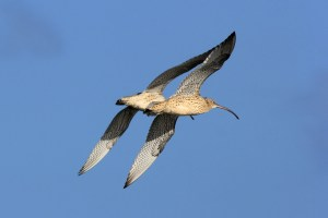 177 Eastern Curlew at Oyster Point 29 January 2015 Oyster Point edited 12 April 2016 comp