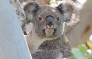 Koalas in Redlands face a grim future without a Koala Protection Act