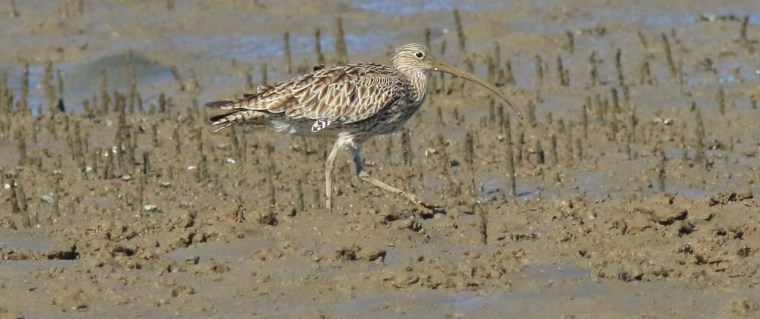 Shorebirds like the Eastern Curlew are at risk if the Toondah Project proceeds
