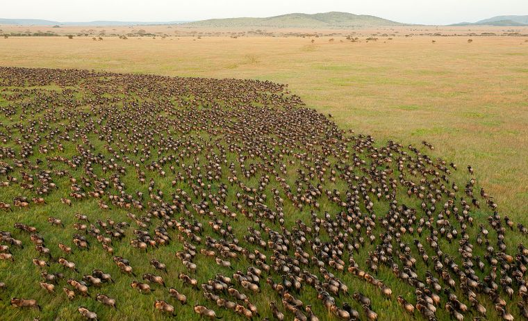 Wildebeest migration in Africa