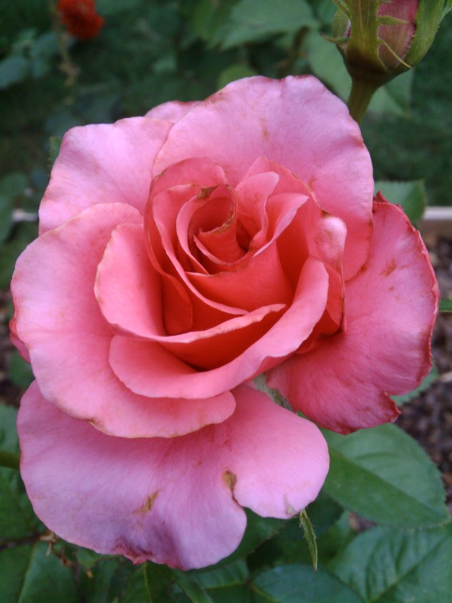 'Hot Princess' hybrid tea - Exhibition stage