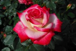 Baldo Villegas - Photo Credit: Heirloom Roses