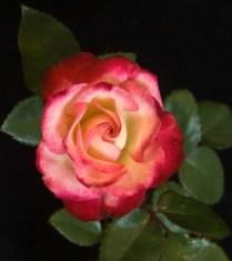 'Baldo Villeagas' Miniflora Rose