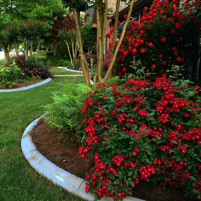 grow roses colorful landscape